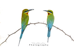 Blue tailed bee eater (T@hir'S Photography) Tags: beeeater blue abstract animal animalbodypart animalwildlife animalwing animalshunting animalsinthewild asia beautyinnature bee bird branchplantpart brown closeup colorimage coloredbackground colors defocused fallowfield forest greenbackground greencolor naturalpattern nature newlife nopeople outdoors perching photography rainforest stickplantpart thaiculture tree tropicalbird tropicalclimate twoanimals vertical wildernessarea wildlifereserve