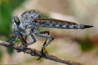 Robber Fly (Machimus cf setibarbus), female