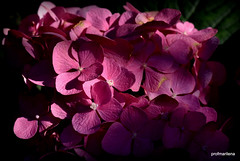 DSC_4682-002 sunray on my pink hortensia (profmarilena) Tags: pinkhortensia macro sunray closeup profmarilena mygarden