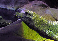Minnesotta Zoo 12-20-2014 - West African Dwarf Crocodile 1 (David441491) Tags: minnesotazoo westafricandwarfcrocodile crocodile reptile