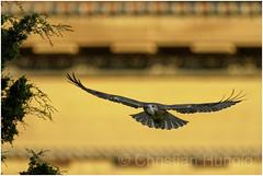 red-tailed hawk (Christian Hunold) Tags: redtailedhawk buteojamaicensis rotschwanzbussard urbanhawk philadelphiamuseumofart philadelphia christianhunold