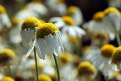 Ackerkamille (gripspix (OFF)) Tags: 20180708 plant pflanze nature natur blüte bloom wildflower wildblume ackerkamille mayweed