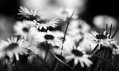 Daisy Study (PJ Swan) Tags: daisies flowers primavera spring keswick cumbria england