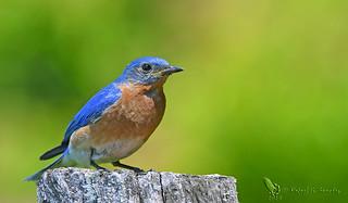 Eastern bluebird - Merlebleu de l'est - Azulillo de garganta canela - Sialia sialis
