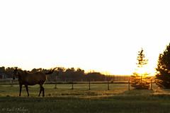 Horsin' around (emily.olyslager) Tags: horse farm sunset lightplay