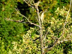 3 in 1 (Vulpe Photographie) Tags: bird birds oiseau oiseaux arbre tree animal wildlife wildlifephoto wildlifephotography nikon coolpix p900 picus pic nature france eure normandie normandy