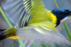 Golden Whistler: Leaving the bath! (Derek Midgley) Tags: dsc50072 golden whistler flight quick blurred iso2000