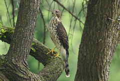 Coopers Hawk (juvenile) (aj4095) Tags: coopers hawk nature wildlife bird birding ontario canada summer outdoor tree