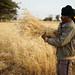 Farmer Gashu Lema harvests improved variety