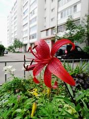 Парад лилий (Гали) Tags: лилейные лилия цветы цветение цветник растения декоративноцветущее liliaceae lilium plant flowers outdoor