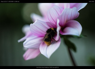 sleeping bumblebee