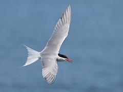 Skymaster (Slow Turning) Tags: sternahirundo commontern birdinflight flying bif water lake spring southernontario canada
