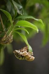 180720021 (murbozero) Tags: murbo japan cicada