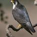 peregrine. (paulmilomilsom) Tags: peregrine falcon raptor