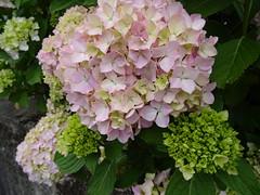 DSC08355 (guyfogwill) Tags: guyfogwill flora france paysdelaloire june 2018 loireatlantique hortensia clisson hydrangea républiquefrançaise holiday klison 44190 fra