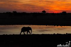 Elephant im Sonnenuntergang (about-nature) Tags: 2015 namibia okaukuejo oshikoto na