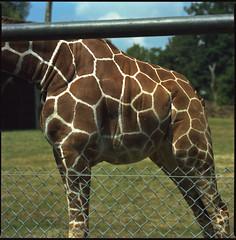 how about you (steve-jack) Tags: hasselblad 501cm 150mm kodak portra film 6x6 120 medium format mf zoo giraffe tetenal c41 kit epson v500