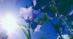 Seeing Blue Through Brown Eyes (j . mahon) Tags: licht himmel flower light sky