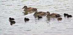 Eider ducks and young. (artanglerPD) Tags: eider ducks ducklings reflections