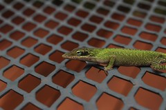 GECKO (katyearley) Tags: 55mm t6 rebel canon nature lizard animal yellow brown spots green scales