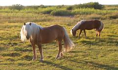 Having a bad hair day? (Ingrid0804) Tags: horse blondhair blondmane havingabadhairday horses