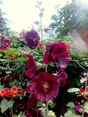 Prima inter pares (ruta / рута) Tags: flower mallow waterdrop urbannature