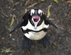 Angry Bird (Wormsmeat) Tags: penguin beach capetown southafrica humour humor anger warning viscious scary olympus 12100mzuikopro bird colony foxybeach bouldersbeach cape peninsula wings wildlife simonstown conservation