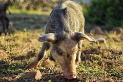Solo Ghiande per me (leonardogiangori) Tags: sardegna erba cucciolo little pig maiale