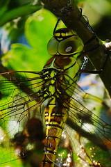 DSC01227 - Immature Southern Migrant Hawker (steve R J) Tags: female southern migrant hawker west canvey marshes rspb reserve essex odonata british dragonfly