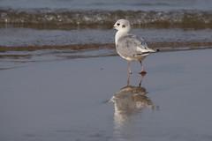 Bonapartes Gull (NicoleW0000) Tags: bonapartesgull gull bird shore beach waves reflection sand outdoor nature wildlife
