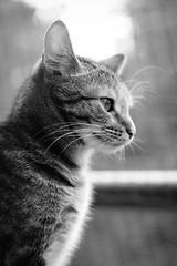 Katze 03 (Sebastian Ukas) Tags: fuji fujifilm fujinon xt2 xf50f2 tier animal berlin katze cat schwarzweiss blackandwhithe