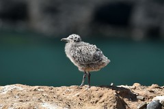 Herring gull chick, all alone (karen leah) Tags: cardiganbay cardigan ceredigion herringgull gull chick bird wildlife nature june