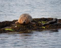 P1020187.jpg (dan.bailey1000) Tags: garnishisland ireland westcork wildlife seal