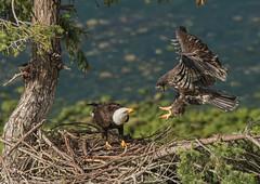 ND5_6315 Eaglet Fledgling Returns (Wayne Duke 76) Tags: