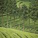 Daehan Tea Plantation Boseong