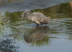 Messing about in puddles (Maureen Pierre) Tags: black swan bird puddle messing