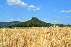 Zirkelstein (Sandsteiner) Tags: zirkelstein elbsandsteingebirge sommer feld sandsteiner