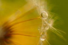 sideglance (ecstaticist - evanleeson.com) Tags: dandelion macro nature drops droplets 1000drops 1000dropsoflight