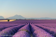 Lavender (Julian Cook Photography) Tags: france provence field lavender plateau valensole outdoor landscape