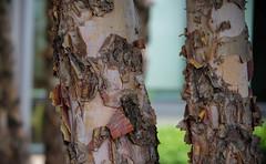 Heritage River Birch Bark (Violet aka vbd) Tags: pentax k1ii vbd hdpentaxda55300mmf4563edplmwrre ct connecticut tree newengland bark birch heritageriverbirch garden smilowcancercenter newhaven handheld manualexposure healinggarden