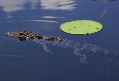 American alligator (Alligator mississippiensis) (im2fast4u2c) Tags: american alligator mississippiensis sheldonlakestatepark wildlife animal