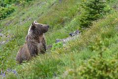 Juvenile Grizzly (MarkWarnes) Tags: yellowstonenationalpark bearcub bear snowandraspberry nationalpark ynp eastentrance yellowstone grizzlies grizzlybear wyoming