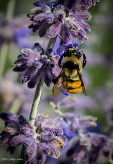 Bumble Bee (C7D7622) (matxutca (cindy)) Tags: daybreak oquirrhlake insects bugs wings bee lavender pollen feeding bumblebee nature outdoors southjordan utah