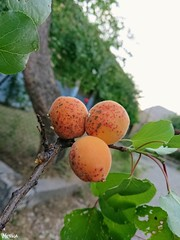 Apricot (7) .. (merna waheeb) Tags: fruits apricottree
