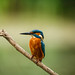 Kingfisher looking for fish