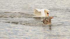 The swan vs. goose fight club (Manfred_H.) Tags: natur nature tiere animals vögel birds gänsevögel goose swan graugänse greygoose conflict see teich lake