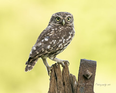 Little Owl (male) (pixellesley) Tags: littleowl male bird wild free birdwatching raptor athenenoctua eyes stare lesleygooding wildlife birdlife animal