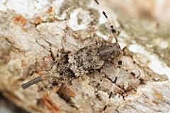 Acanthocinus reticulatus (Radim Gabriš) Tags: coleoptera beetle insect macro acanthocinus cerambycidae lamiinae