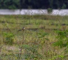 20180804-0I7A5163 (siddharthx) Tags: 7dmkii birdinginthewild canon canon7dmkii cottoncarrierg3 ef100400f4556isii ef100400mmf4556lisiiusm july2018 kesslerkwik matingritual migratorybirds pasirrisparkway3 promediagearkatanajr promediageartr424lpmgprostix sg singapore baybackedshrike shrike