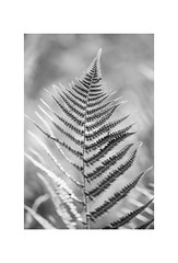 Fern. (muddlemaker1967) Tags: hampshire nature photography fern sporangia frond bokeh blackwhite fujifilm xt1 tokina 100mm atxm100afprod macro lens fotodiox adapter